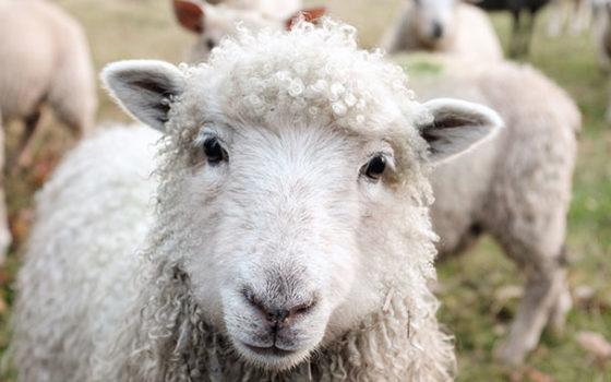 wool 720 380